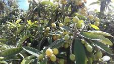 ORGANIC FRESHLY PICKED GROWTH OF LOQUAT SEEDS MORE THAN 50 SEEDS
