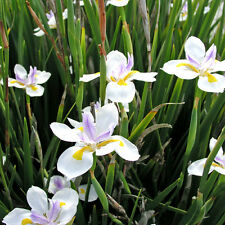 Dietes grandiflora Fairy Iris rare, fresh seeds, wildlife and great for bees!