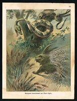 1900 Large Snake Terrifies a Porcupine Antique Color Print by Cornely