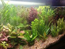 50 Live Tropical Aquarium Aquatic Fish Tank Plants SUPERB QUALITY & VALUE mixed