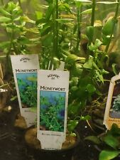 Potted Moneywort bacopa monnieri - Aquarium Plant