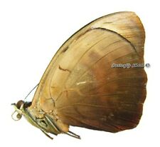 Unmounted Butterfly/Nymphalidae - Catonephele numilia numilia, male, Peru
