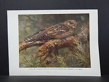 Birds British c 1930 Original Color Book Plate S5#094 Nightjar