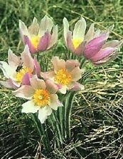 30+ ANEMONE PATENS WOLFGANGIANA FLOWER SEEDS / PERENNIAL/ PULSATILLA / PASQUE