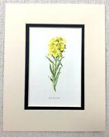 1913 Antico Botanico Stampa Giallo Alpine Wallflower Inglese Giardino Fiore Art