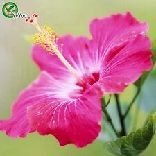 50 Pc Hibiscus seeds Balcony Bonsai Flower Seeds Flowering Plants Hawaian Salmon