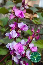 100 seeds of Lablab Purpureus - HYACINTH BEAN Dolichos + GIFT 5 seeds Sunflower