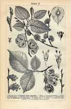 Antique botanical print ulmus campestris iep tree 1907 stampa antica botanica
