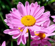 PYRETHRUM ROSE Chrysanthemum Coccineum - 500 Bulk Seeds