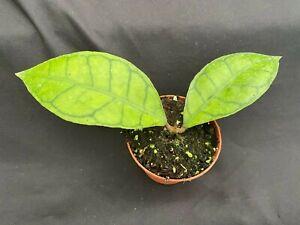 """Hoya kalimantan,  Rare Hoya, Rooted Plant Shipped in 2.5"""" Pot"""