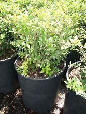 Dwarf Yaupon Holly Big Healthy 3 Gal. Plant Large Easy to Grow Landscape Plants