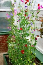 Winter Sweet Peas Seeds for Greenhouse or Mild Winter Short Day Type