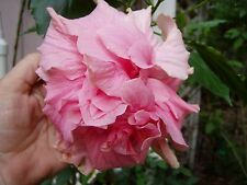 Hibiscus mutabilis Cotton Rose Double multicolor 2 Pint Plants FREE SHIPPING