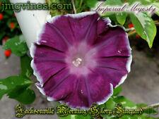 Imperial Majesty Japanese Morning Glory 6 Seeds