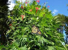 Morning Glory Ipomoea multifida Cardinal Climber 10 seeds