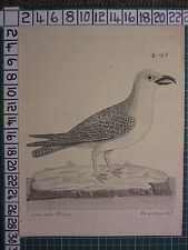 c1735 PRINT THE GREAT GRAY GULL ~ ANTIQUE BIRD PRINT ELEAZER ALBIN ~