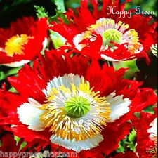 FREE P&P LARGE PACKET - POPPY DANISH FLAG - Papaver s 10000 seeds  ANNUAL FLOWER