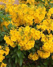 100x Seeds —Esperanza Tecoma Stans Flower Seeds —Tx Yellow Bells