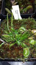 """Dionaea muscipula  """"Schuppenstiel 1"""" Fleischfressende Pflanze"""