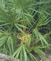 Saw Palmetto   Serenoa Repens   Florida Endangered   Scrub Palm Tree   10 Seeds
