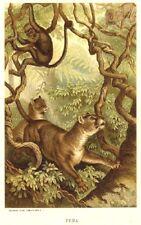 1885 Prang Chromo PUMA/PANTHER/JAGUAR/LION Big JUNGLE CAT Print L@@K NICE!