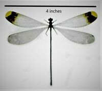 Huge Helicopter Damselfly Dragonfly Microstigma rotundatum  Folded FAST FROM USA