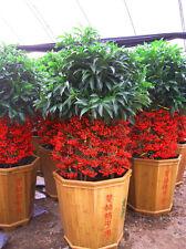 Cinnabar Root Seed 10 Seeds Ardisia Crenata Sims Rich seeds Herb Seeds Hot A148