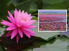 Aparte Nymphea Rose Nymphe : Keine Seerose der Welt duftet angenehmer I Rhizom I