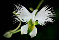 50pcs White Egret Orchid (Habenaria Radiata) Flower Seeds
