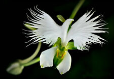 100pcs White Egret Orchid (Habenaria Radiata) Flower Seeds