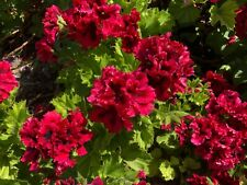 "6"" Pelargonium Geranium Plants Regal Geraniums Dark Red No Root Cutting"