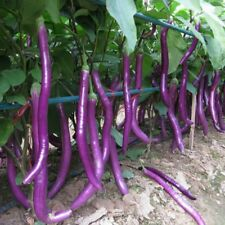 Purple line eggplant Seed 30 Seeds Solsnum melongena Vegetable Seeds C150