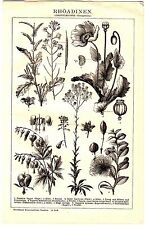 1898 Botanical Plants,Rhoeadine,Rapeseed,Opium Poppy,Caper Bush,Flinders Rose