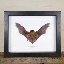 Taxidermy Bamboo Bat in Box Frame (Tylonycteris pachypus)
