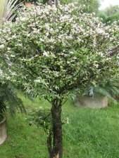 Wrightia religiosa Flowering Plant 25 Seeds #Ornamental