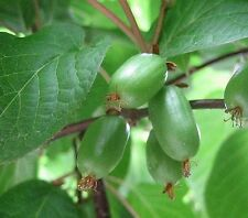 Actinidia Arguta - Hardy Kiwi Berry - Rare Plant Seeds (20)
