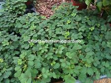 Piante di Mimosa Pudica - La pianta SENSITIVA