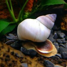 White Wizard Snail (Filopaludina martensi)
