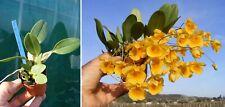 Dendrobium aggregatum x jenkinsii, orchidée, Orchid