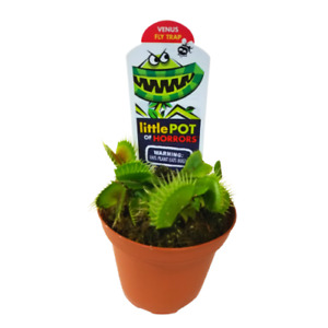 "-BUY 2 GET 1 FREE- Venus Fly Trap (Dionaea Muscipula) 3"" Pot Flytrap Houseplant"