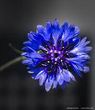 Kornblume - 500 Samen - Blauer Junge - Centaurea cyanus 001389