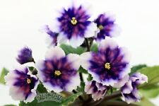 """Russian African Violet """"Rs-Comet / РС-Комета"""" - Plant in Bloom!"""
