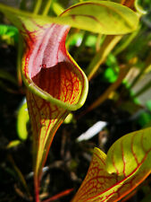 Sarracenia oreophila -- Red throat. O12,MK Carnivorous plants/plantes carnivores