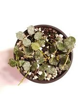 """Hoya Curtisii - Actual Plant in 4"""" Pot"""