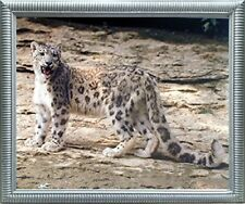 Leopard in Snow Wildlife Animal Wall Decor Silver Framed Art Print Picture 20x24