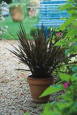 Oryza sativa Black Madras - 25 seeds - Annuals & Biennials