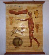 VINTAGE ROLL SCHOOL ANATOMY ANTIQUE POSTER 70Cm.x55Cm. Years 30' Cartel Anatomia