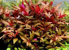 Alternanthera reineki x3 lots plante aquarium rouge Alternanthera reineckii