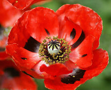 Red Corn Poppy Seeds, Flanders Field Poppies, Heirloom Wildflowers Annual, 100ct