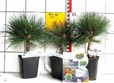 """Pinus nigra """"Gaelle Bregeon"""" (Bambino) - seltene, hervorragende kleine Zwergform"""